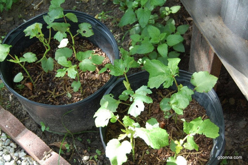 Okra Plant Okra in Pots i Normally Plant